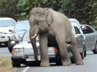 Chuyện lạ: Voi rừng gãi ngứa bằng xe hơi
