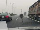 """Đà điểu """"đua"""" xế hộp trên cao tốc Cầu Giẽ-Ninh Bình"""