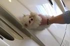 Con nhà giàu đăng video lau xe Maserati bằng chó con khiến cư dân mạng phẫn nộ