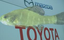 Một mình loài cá tí hon này đang đe dọa nhà máy tiền tỉ của Toyota-Mazda