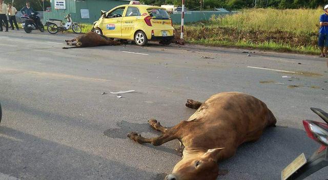 Chiếc taxi đâm trúng 3 con bò.