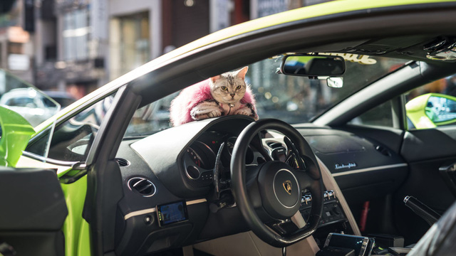 Torako - cô mèo có cuộc sống vương giả trên Lamborghini Gallardo - Ảnh 1.