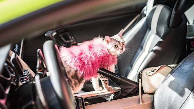 Torako - cô mèo có cuộc sống vương giả trên Lamborghini Gallardo - Ảnh 9.