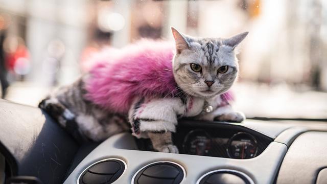 Torako - cô mèo có cuộc sống vương giả trên Lamborghini Gallardo - Ảnh 10.