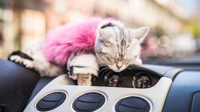 Torako - cô mèo có cuộc sống vương giả trên Lamborghini Gallardo - Ảnh 11.