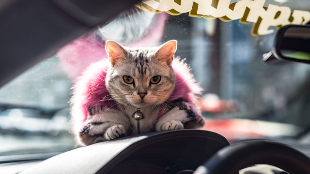 Torako - cô mèo có cuộc sống vương giả trên Lamborghini Gallardo - Ảnh 2.