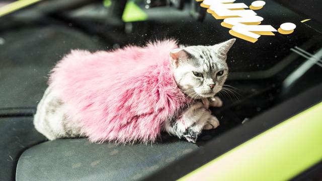 Torako - cô mèo có cuộc sống vương giả trên Lamborghini Gallardo - Ảnh 8.