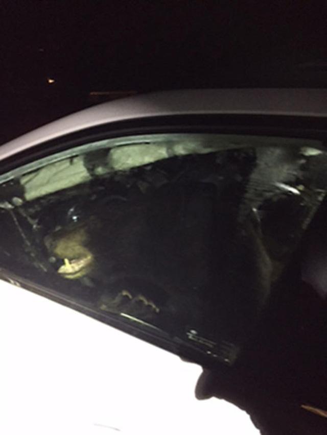Quên khóa cửa xe, chủ xe méo mặt vì bị gấu lẻn vào phá tan nội thất - Ảnh 1.
